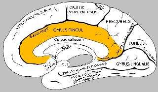 Gyrus-cinguli