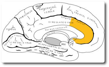 anteriorer-cingulaerer-cortex