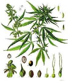 cannabis - thc