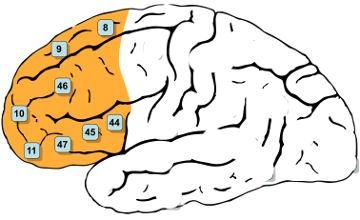 dorsolateraler-praefrontaler-cortex