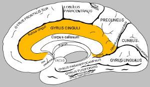 gehirn-gyrus-cinguli