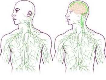 gehirn-immunsystem