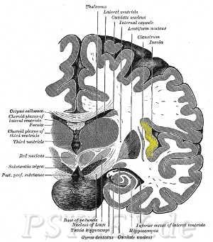 inselcortex