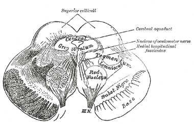 mittelhirn-tegmentum-nigra-gray