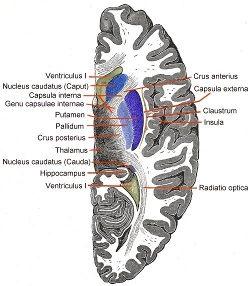 nucleus-caudatus