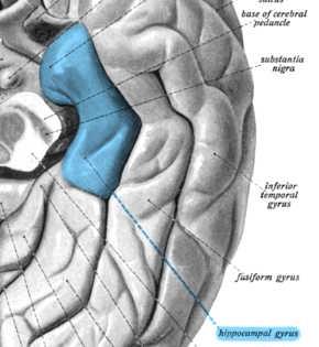 parahippocampaler-cortex