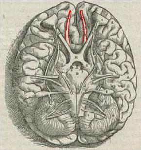 Riechkolben oder Bulbus olfactorius