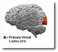 visueller-cortex-v1